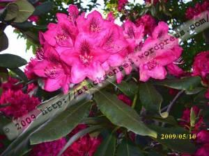2009_Mai_Rhododendron